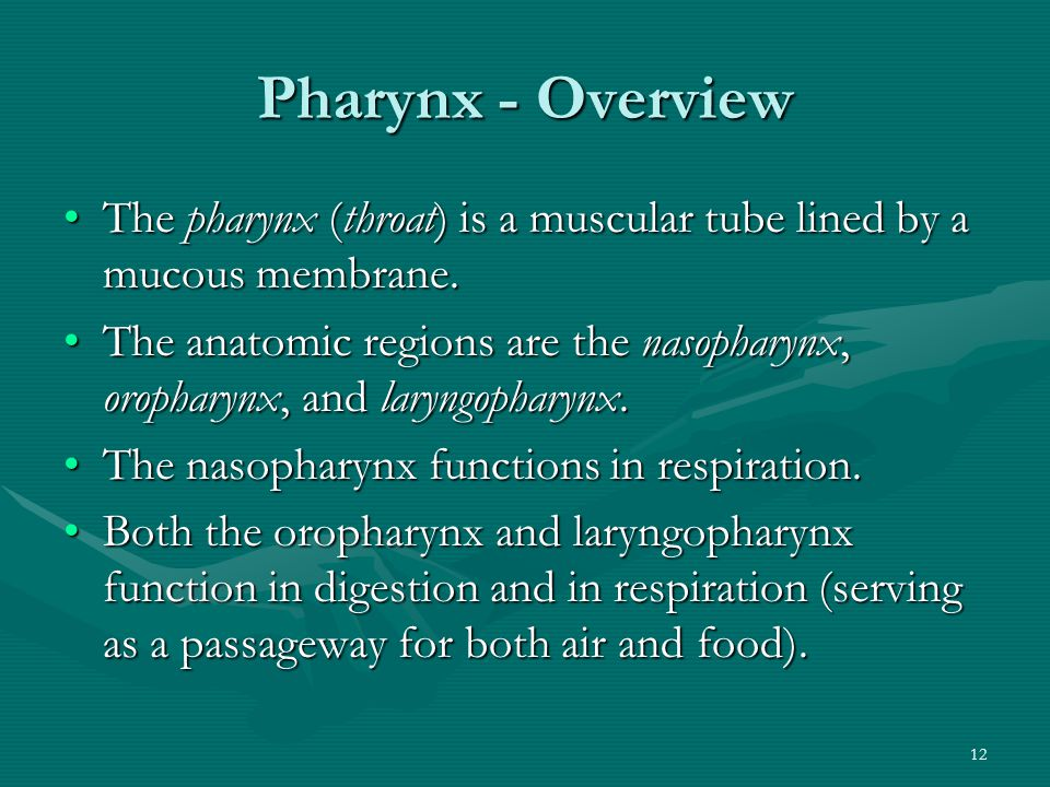 Pharynx - Overview The pharynx (throat) is a muscular tube lined by a mucous membrane.
