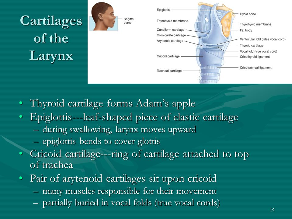 Cartilages of the Larynx