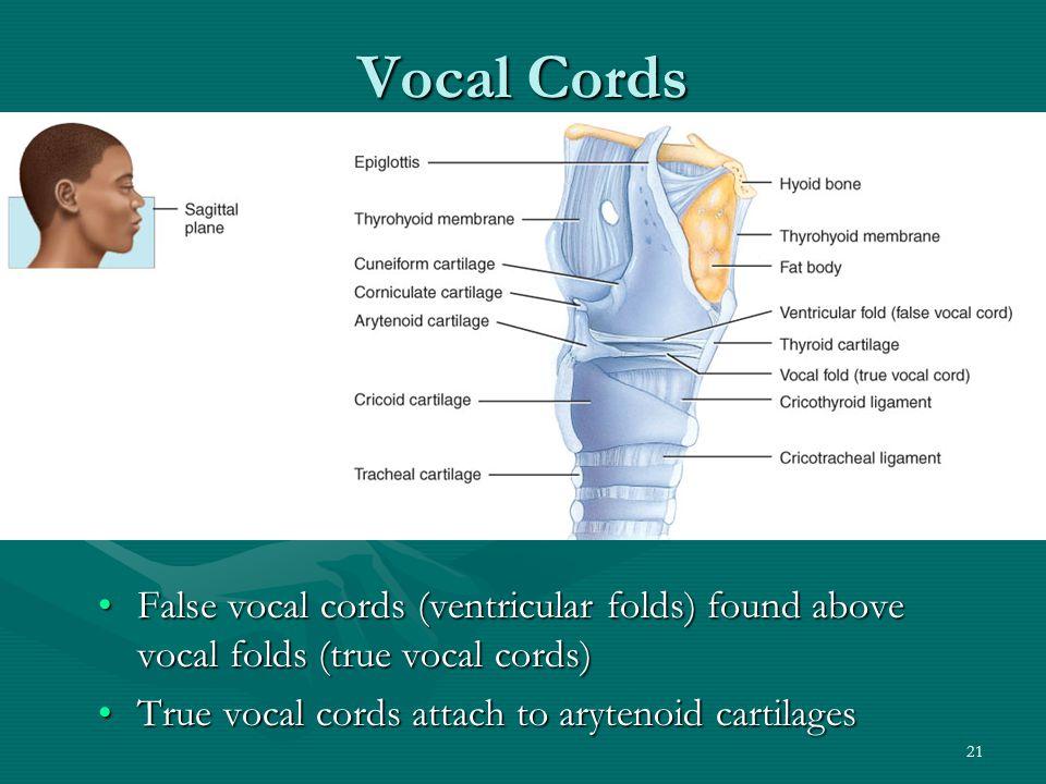 Vocal Cords False vocal cords (ventricular folds) found above vocal folds (true vocal cords) True vocal cords attach to arytenoid cartilages.
