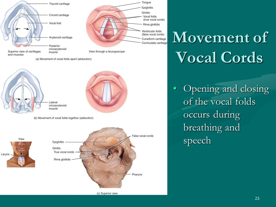 Movement of Vocal Cords
