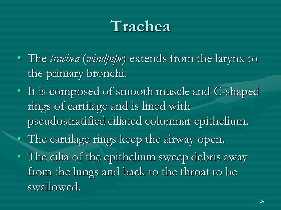 Trachea The trachea (windpipe) extends from the larynx to the primary bronchi.