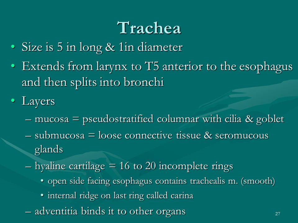 Trachea Size is 5 in long & 1in diameter