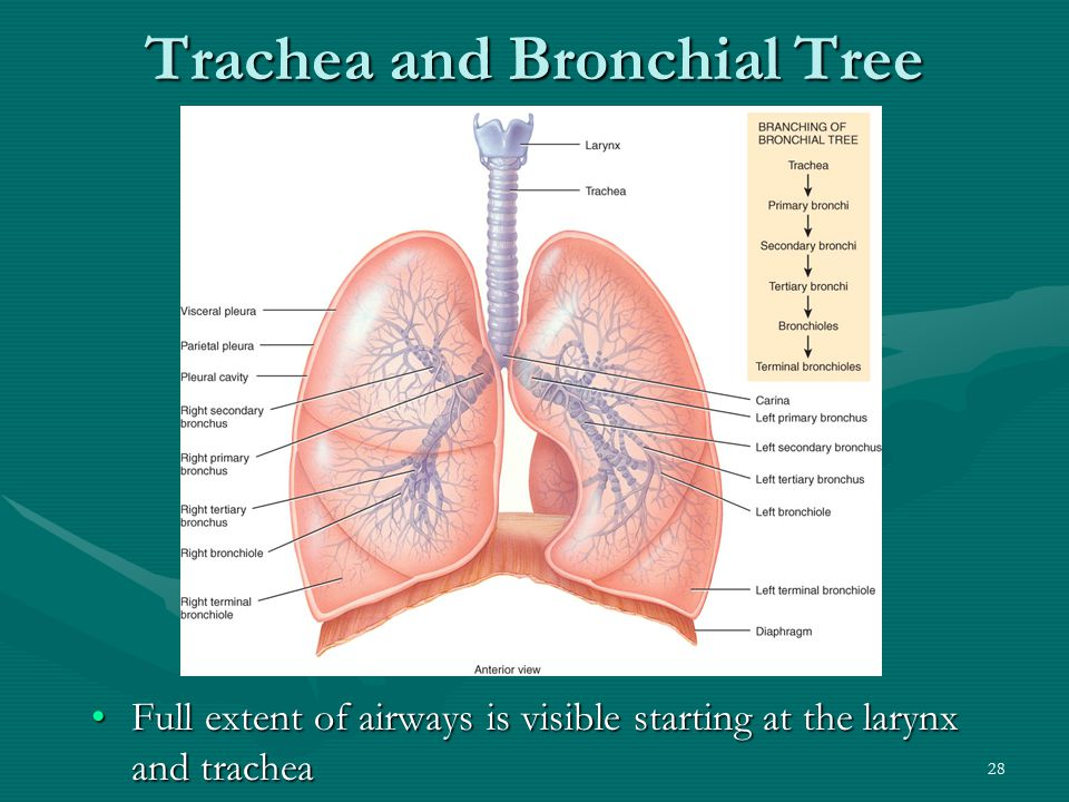 Trachea and Bronchial Tree