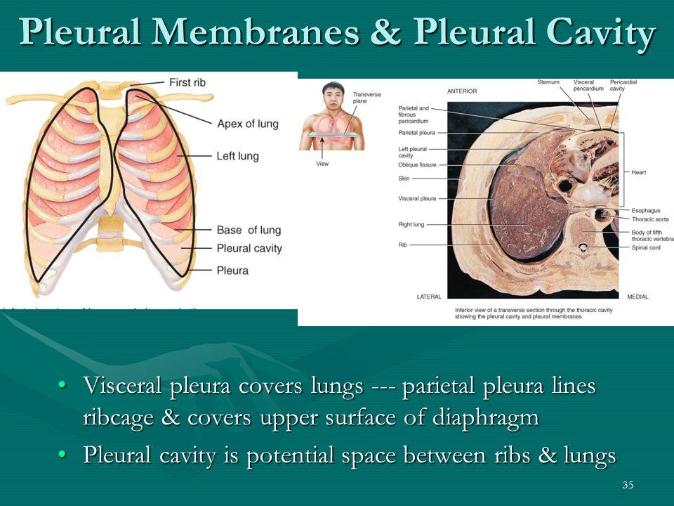 Pleural Membranes & Pleural Cavity