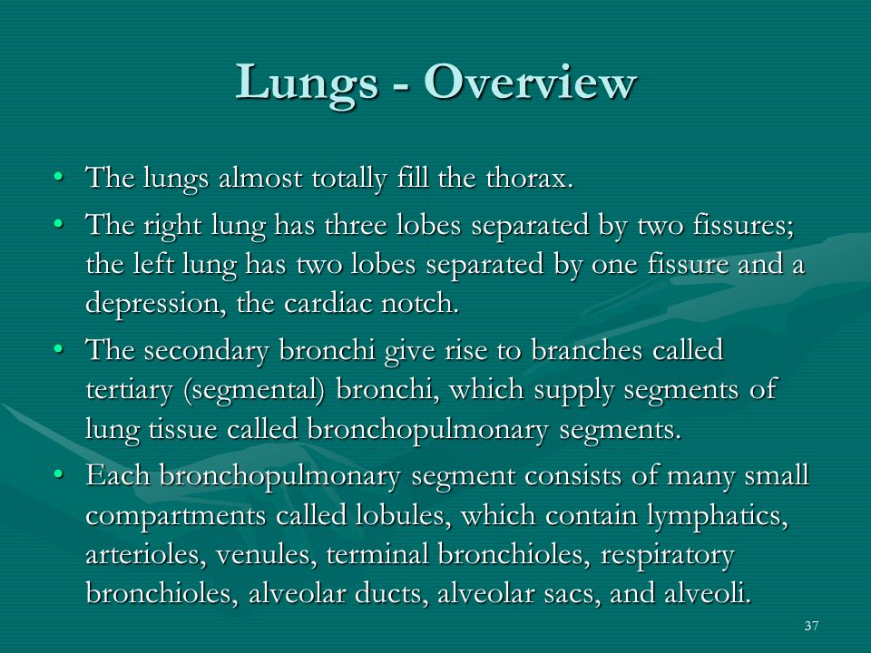 Lungs - Overview The lungs almost totally fill the thorax.
