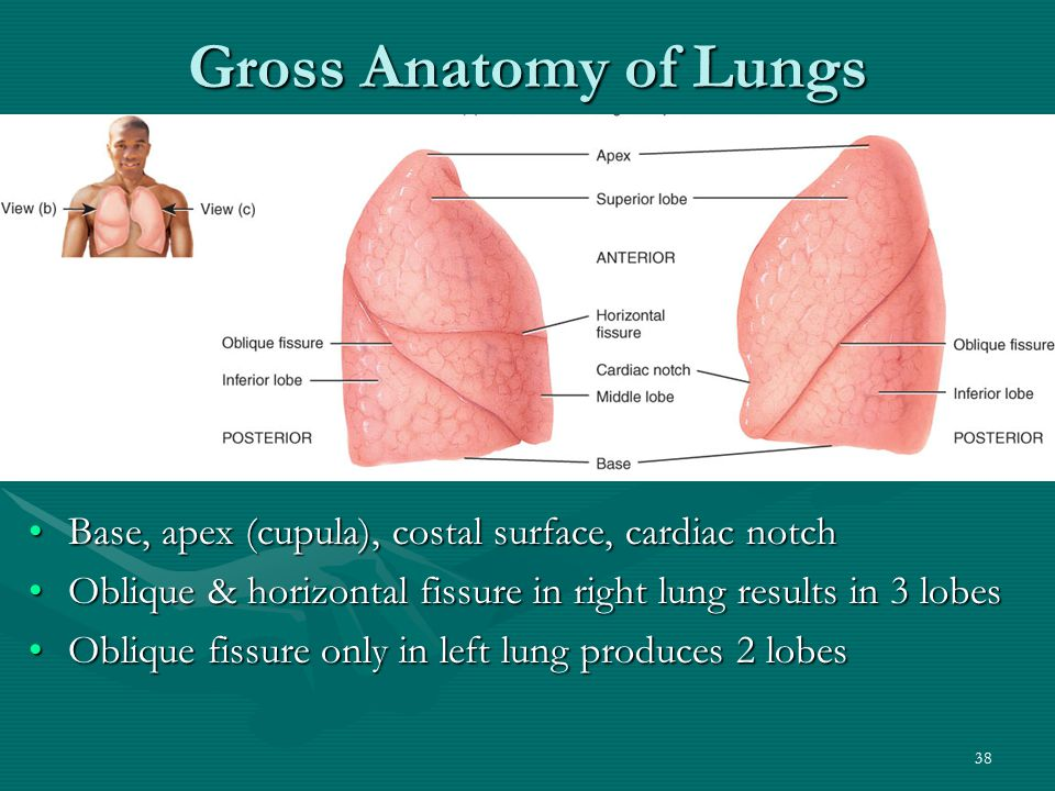 Gross Anatomy of Lungs Base, apex (cupula), costal surface, cardiac notch. Oblique & horizontal fissure in right lung results in 3 lobes.