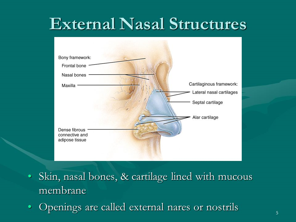 External Nasal Structures