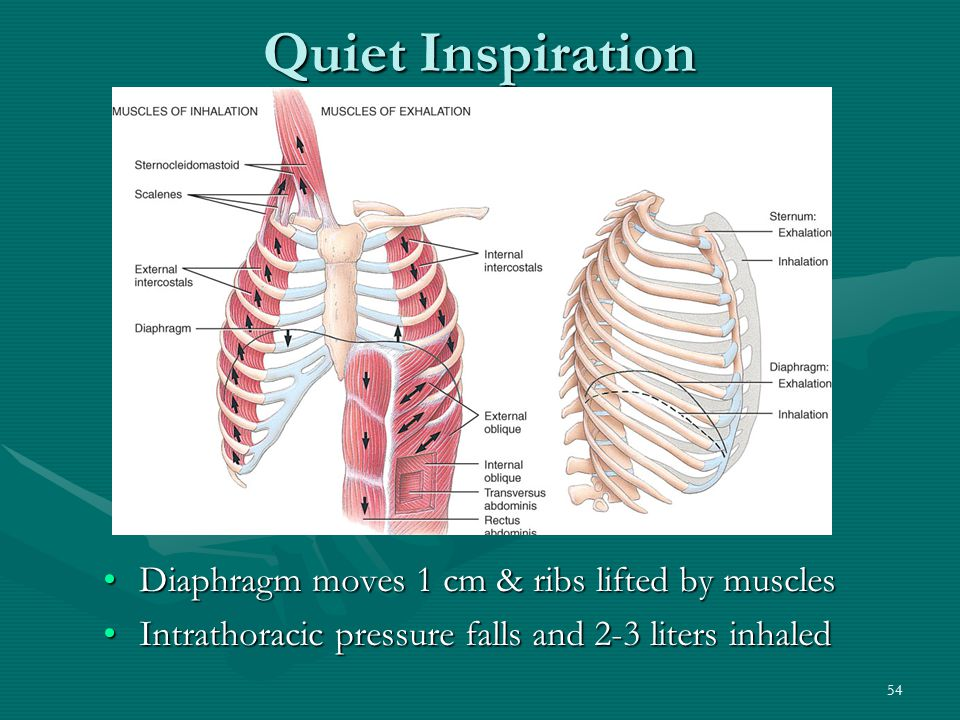Quiet Inspiration Diaphragm moves 1 cm & ribs lifted by muscles