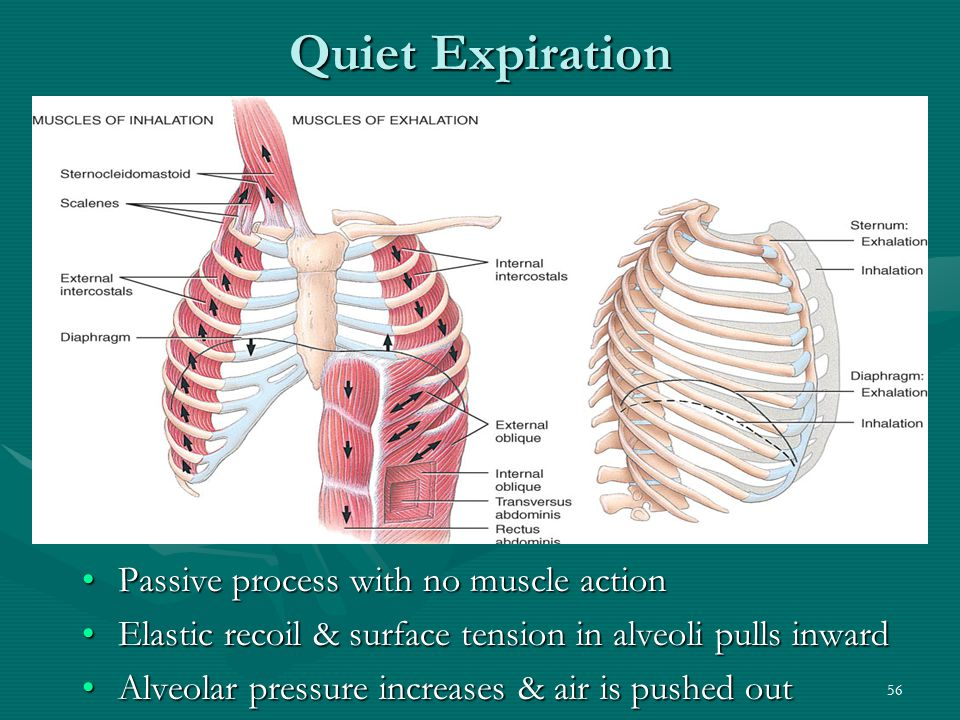 Quiet Expiration Passive process with no muscle action
