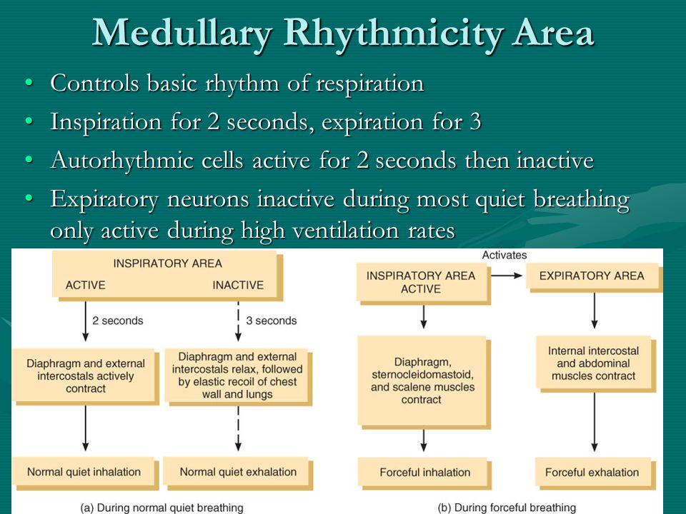 Medullary Rhythmicity Area
