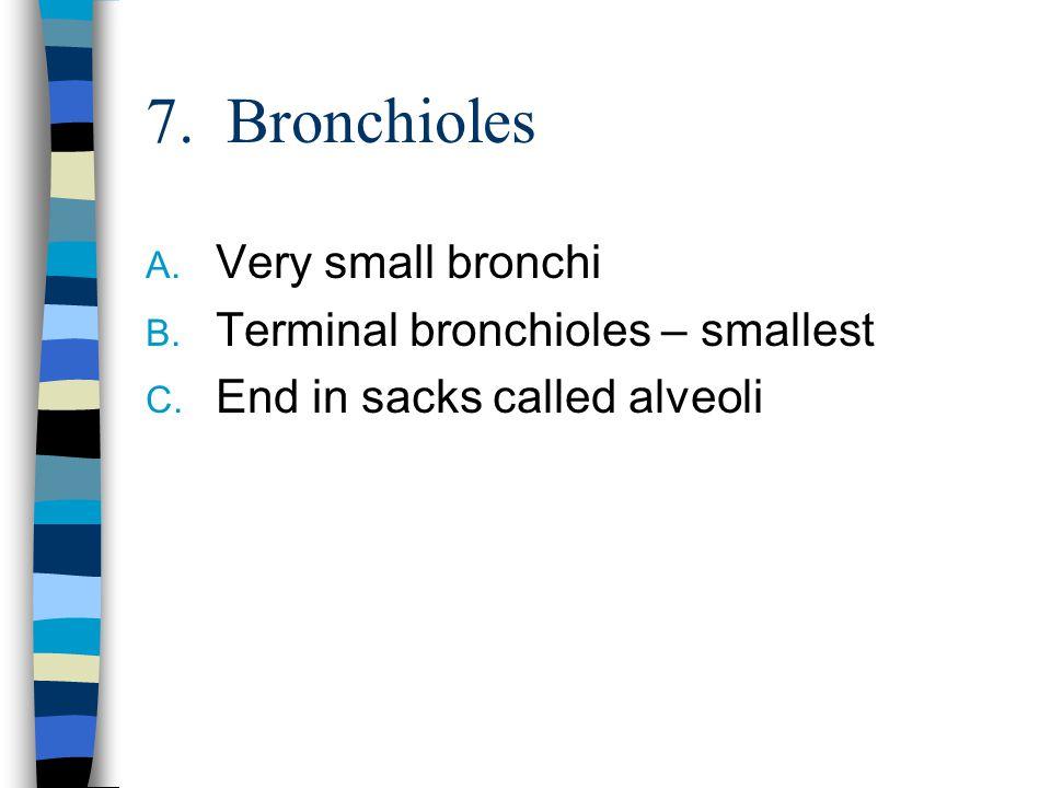 7. Bronchioles Very small bronchi Terminal bronchioles – smallest
