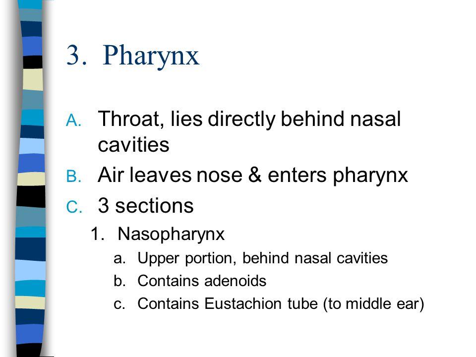 3. Pharynx Throat, lies directly behind nasal cavities