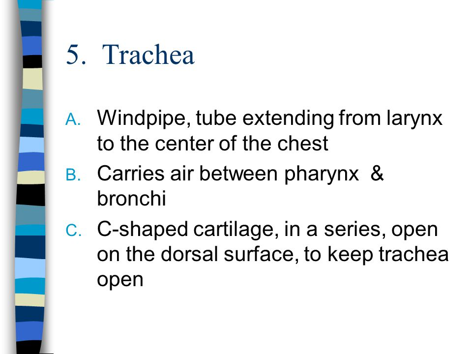 5. Trachea Windpipe, tube extending from larynx to the center of the chest. Carries air between pharynx & bronchi.