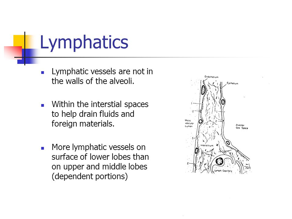 Lymphatics Lymphatic vessels are not in the walls of the alveoli.