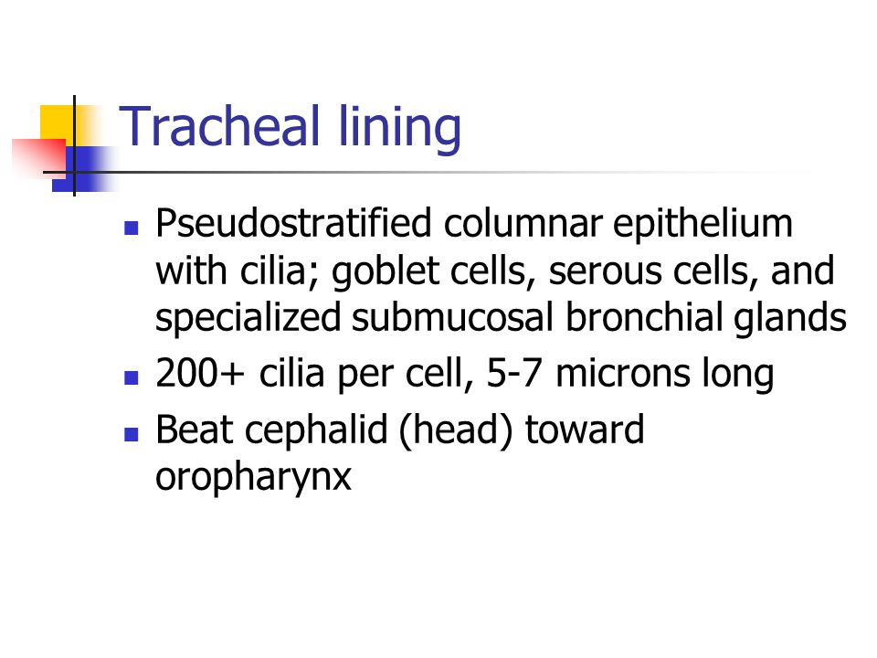 Tracheal lining Pseudostratified columnar epithelium with cilia; goblet cells, serous cells, and specialized submucosal bronchial glands.