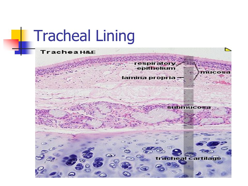 Tracheal Lining