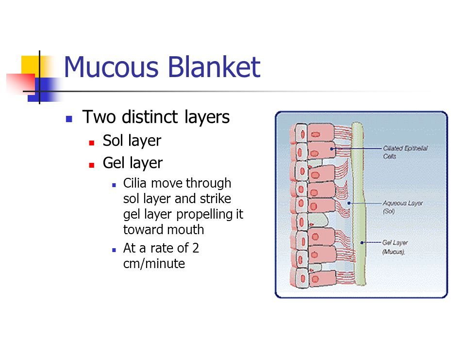 Mucous Blanket Two distinct layers Sol layer Gel layer