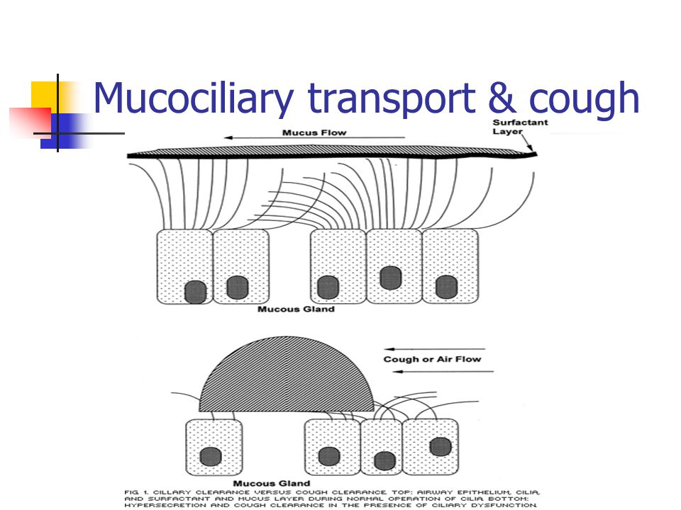 Mucociliary transport & cough