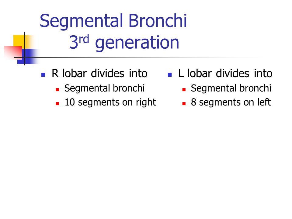 Segmental Bronchi 3rd generation