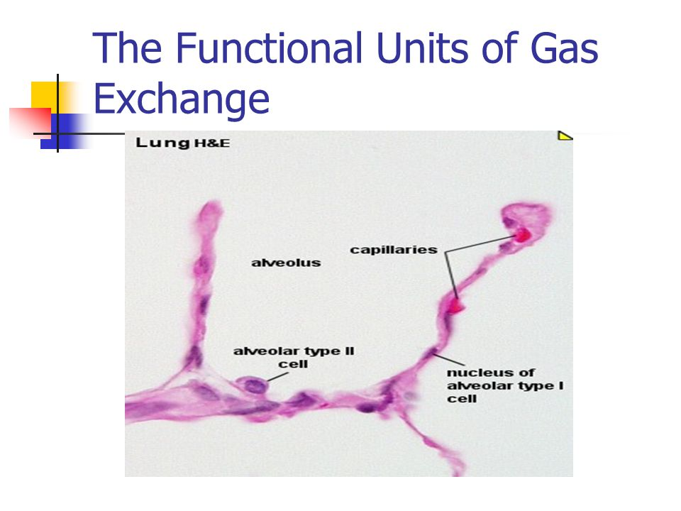 The Functional Units of Gas Exchange