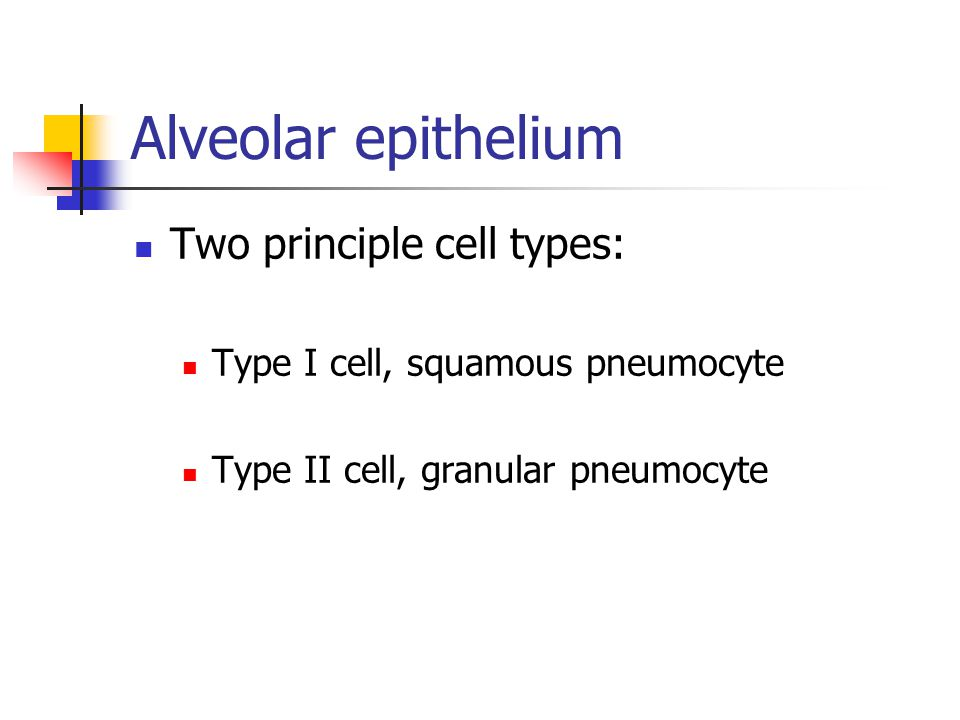 Alveolar epithelium Two principle cell types: