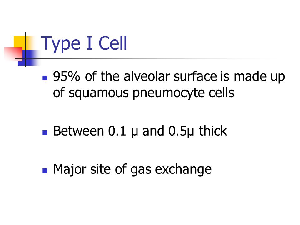 Type I Cell 95% of the alveolar surface is made up of squamous pneumocyte cells. Between 0.1 µ and 0.5µ thick.