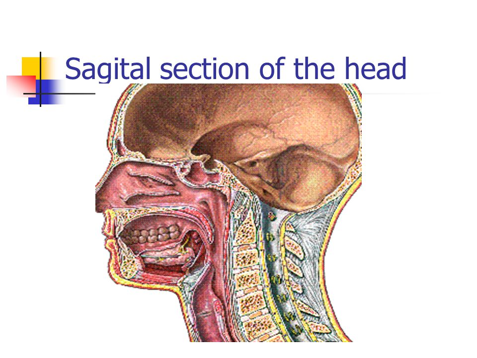 Sagital section of the head