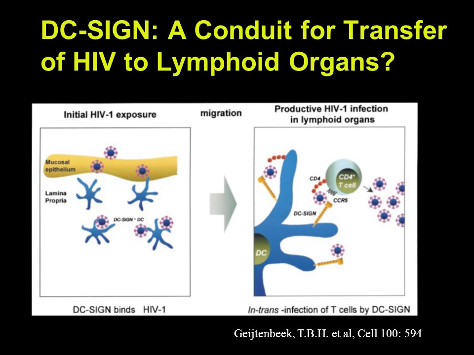 DC-SIGN: A Conduit for Transfer of HIV to Lymphoid Organs