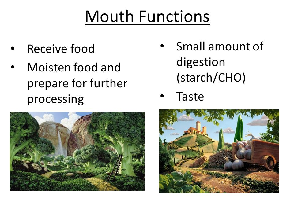 Mouth Functions Small amount of digestion (starch/CHO) Receive food