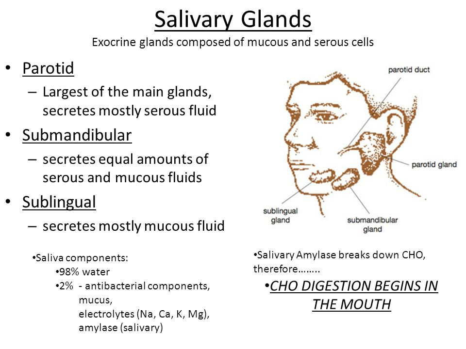 Salivary Glands Exocrine glands composed of mucous and serous cells