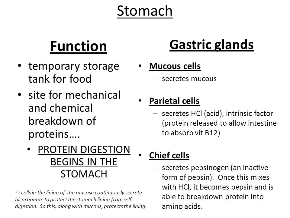 PROTEIN DIGESTION BEGINS IN THE STOMACH