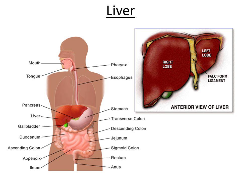 Liver 20