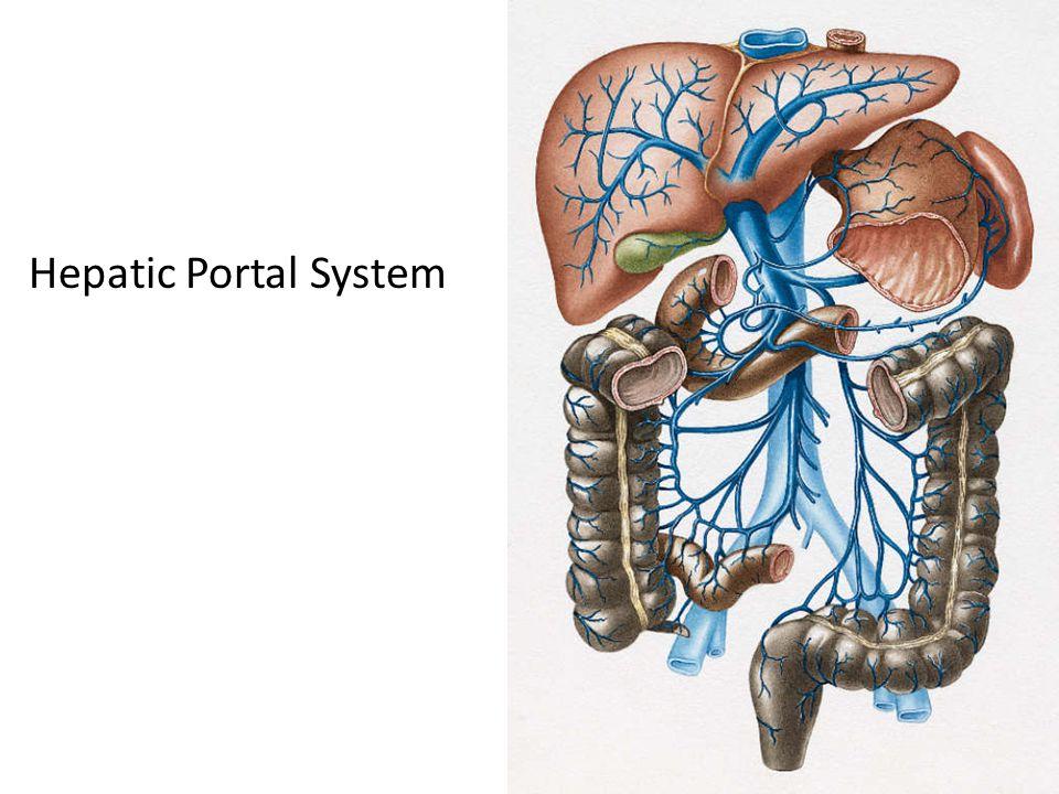 Hepatic Portal System 21