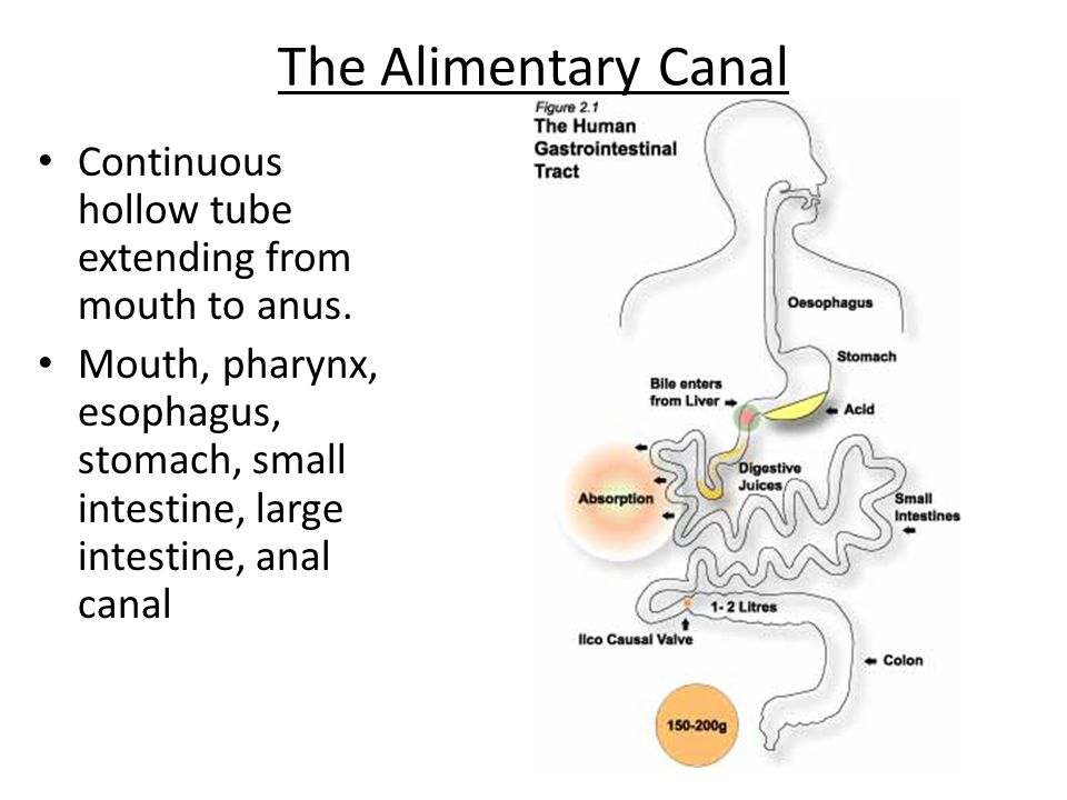 The Alimentary Canal Continuous hollow tube extending from mouth to anus.