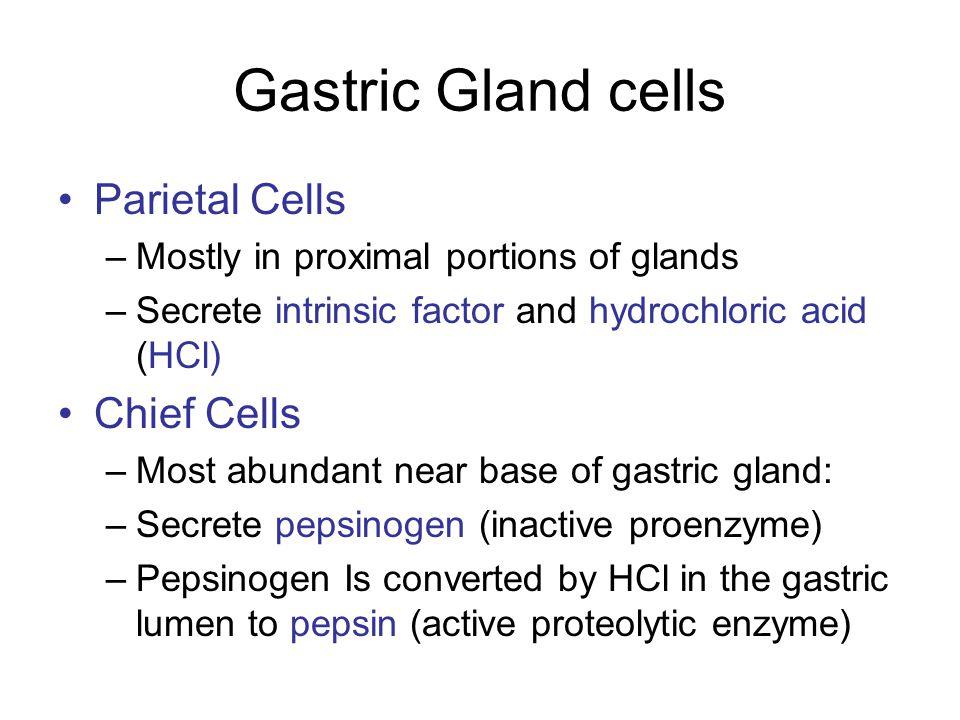 Gastric Gland cells Parietal Cells Chief Cells