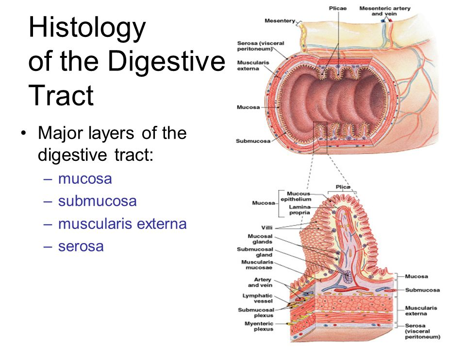 Anatomy and Histology of the Small and Large Intestine