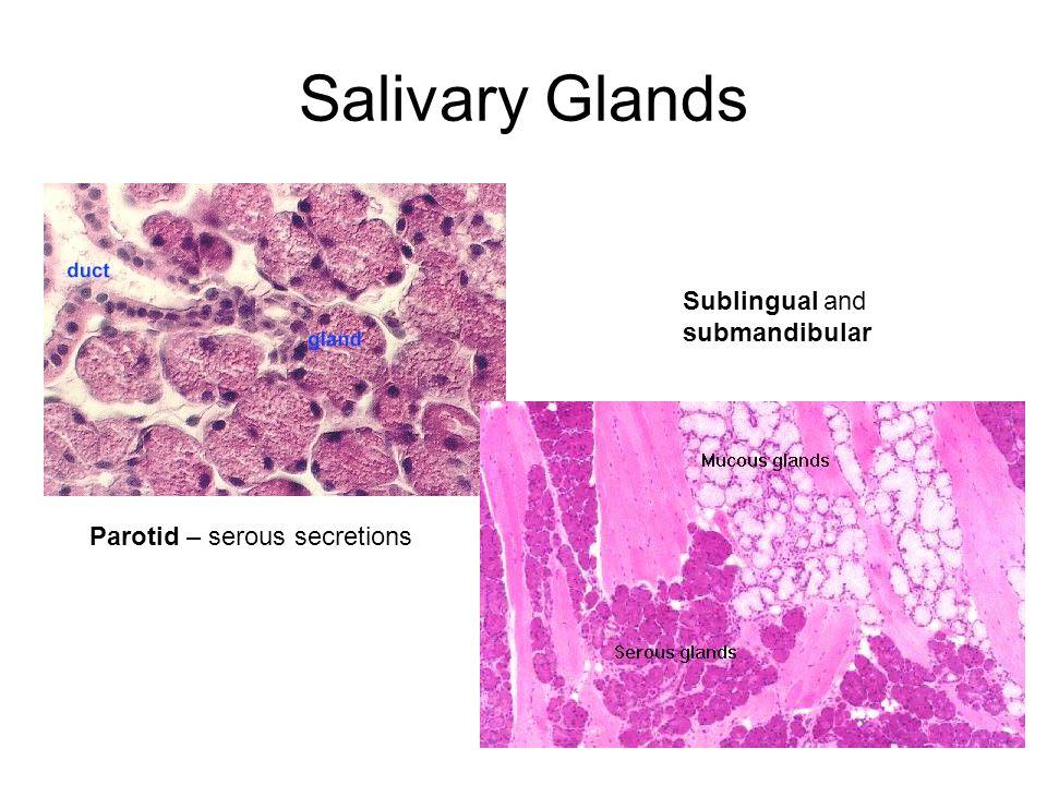 Salivary Glands Sublingual and submandibular