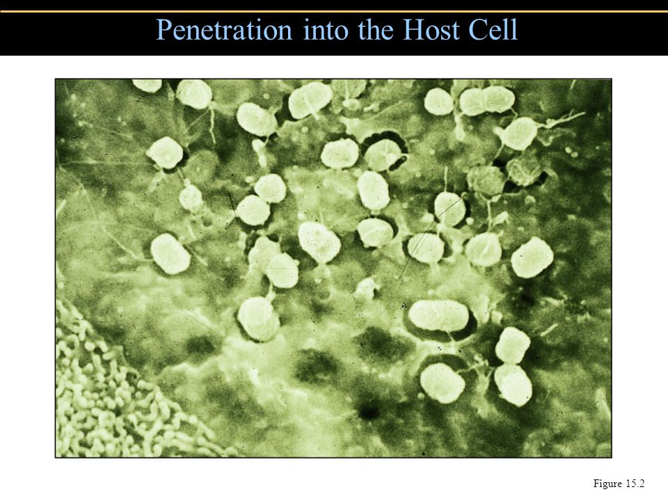Penetration into the Host Cell
