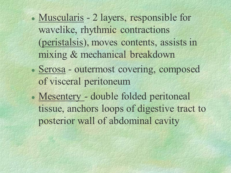 Muscularis - 2 layers, responsible for wavelike, rhythmic contractions (peristalsis), moves contents, assists in mixing & mechanical breakdown