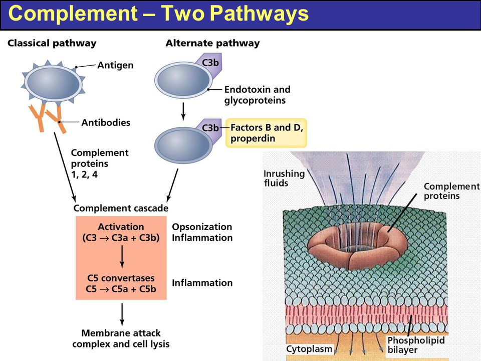 Complement – Two Pathways