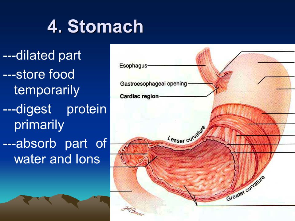 4. Stomach ---dilated part ---store food temporarily
