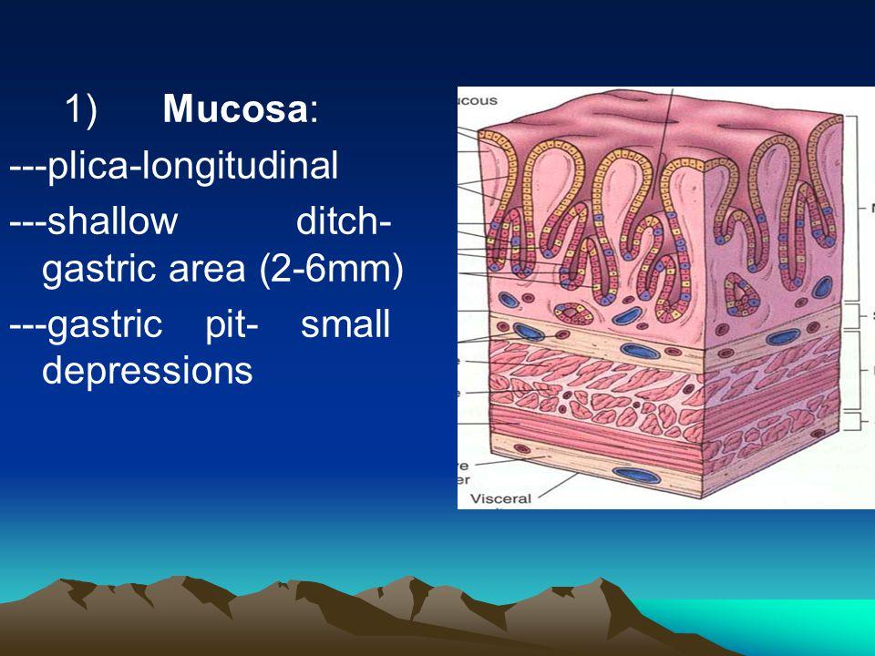 1) Mucosa: ---plica-longitudinal.