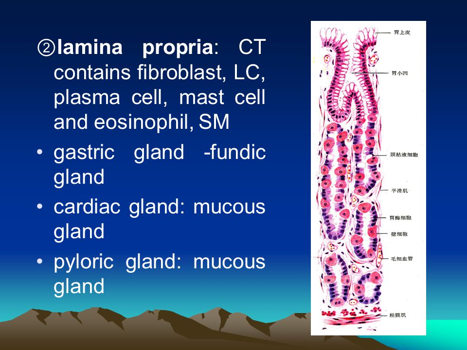 ②lamina propria: CT contains fibroblast, LC, plasma cell, mast cell and eosinophil, SM