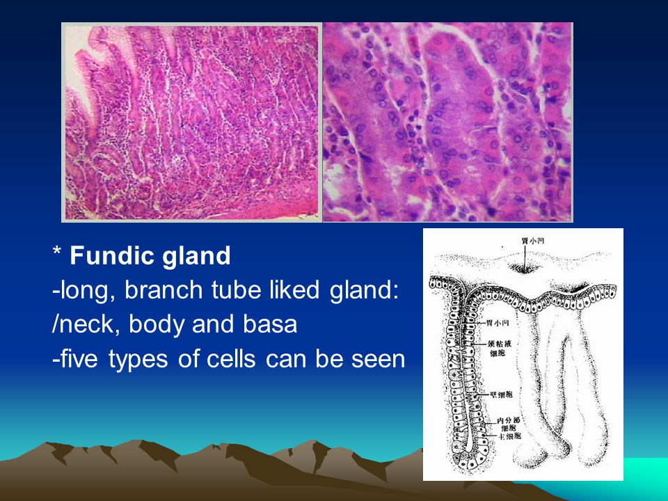 * Fundic gland -long, branch tube liked gland: /neck, body and basa.