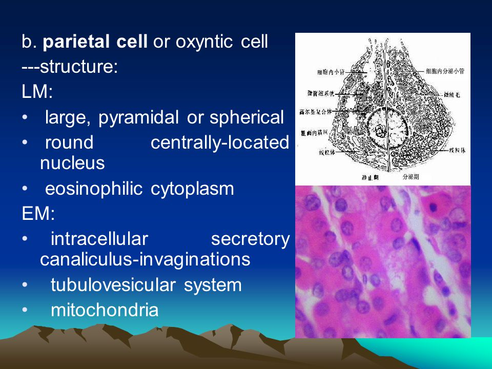 b. parietal cell or oxyntic cell