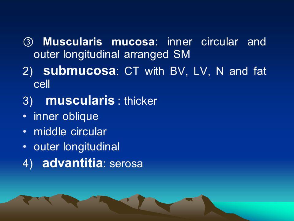 ③ Muscularis mucosa: inner circular and outer longitudinal arranged SM