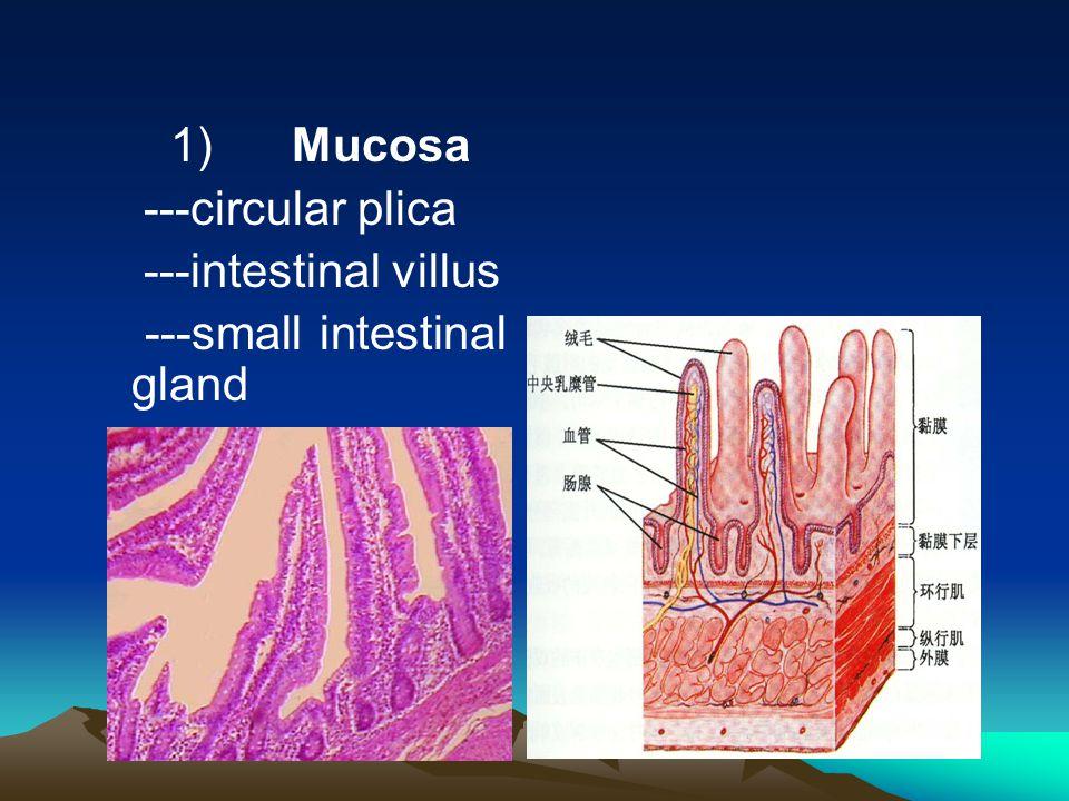1) Mucosa ---circular plica ---intestinal villus ---small intestinal gland