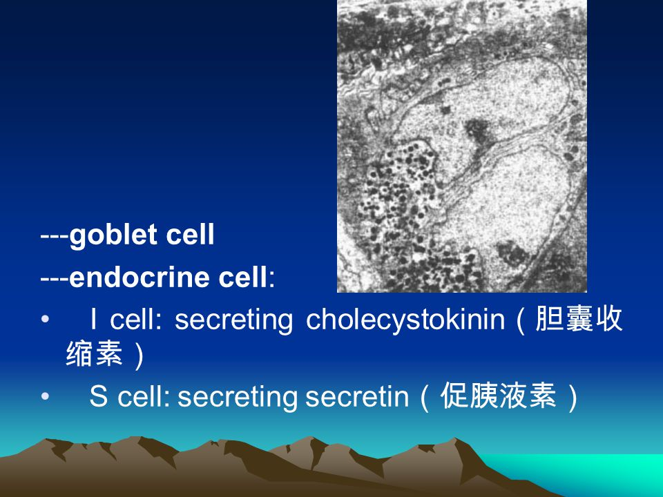 ---goblet cell ---endocrine cell: I cell: secreting cholecystokinin(胆囊收缩素) S cell: secreting secretin(促胰液素)