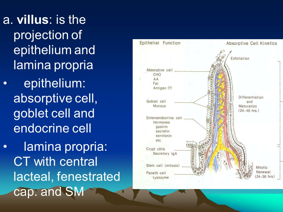 a. villus: is the projection of epithelium and lamina propria