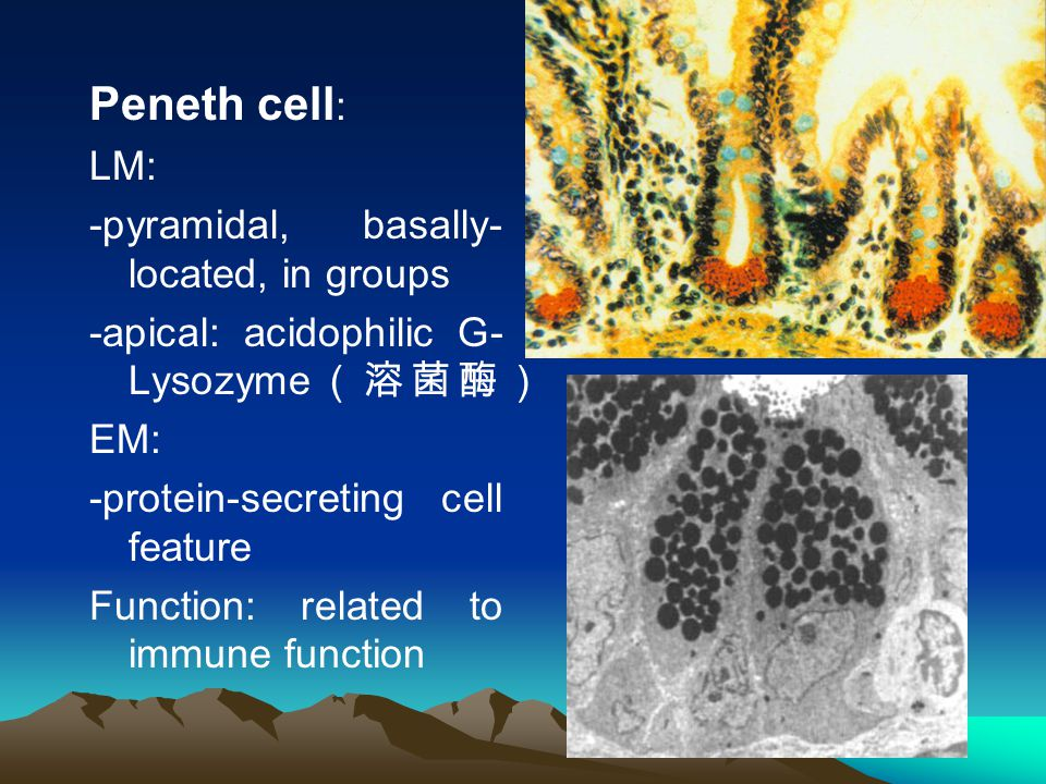 Peneth cell: LM: -pyramidal, basally- located, in groups